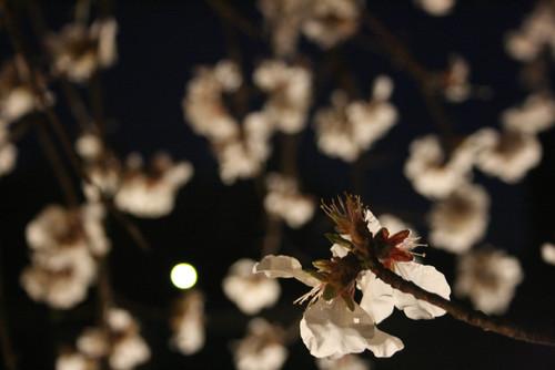 Gros plan sur une fleur d'amandier au premier plan et la lune au travers de branches floues se découpant sur le ciel la nuit