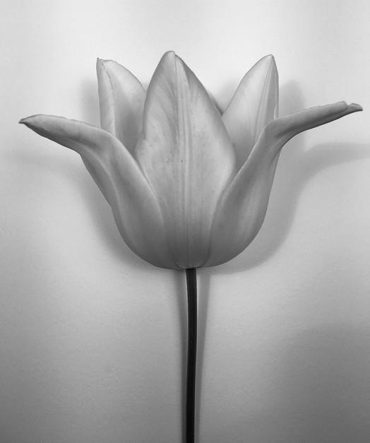 Silver Trumpet Tulip
