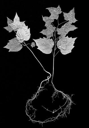 the SIMPLE story   maple tree seedlings