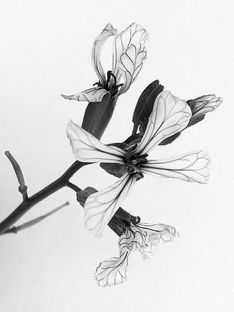 delicate arugula flowers