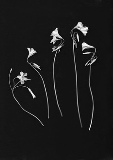 the SIMPLE story   flowers of Oxalis
