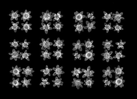 Bi-color Baby Sunflowers