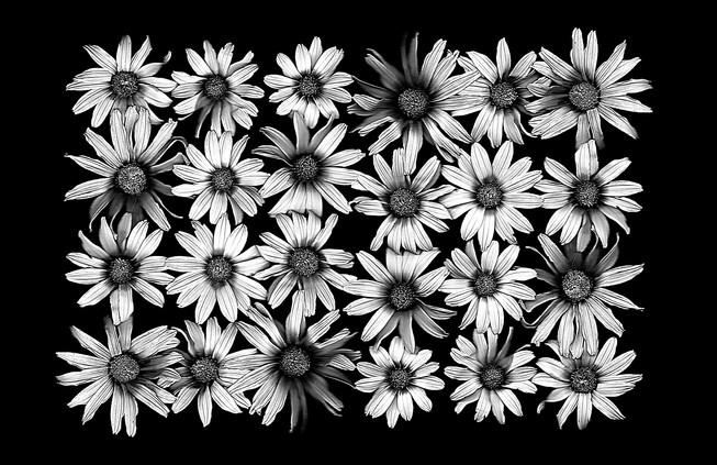 August Harvest: Black Eyed Sunflowers