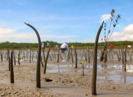 Criação de camarão impulsiona desmate de 50% dos mangues no País