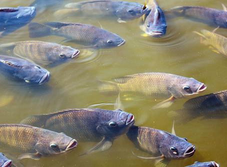 Estudo inédito avalia pureza de peixes.