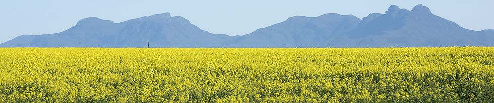 1 canola flowering with stirlings in background.jpg