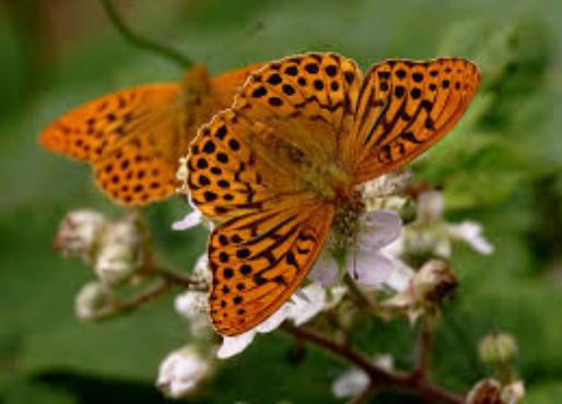 Silver wash fritillary butterfly