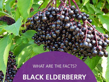 Black Elderberry and COVID-19– What are the facts?