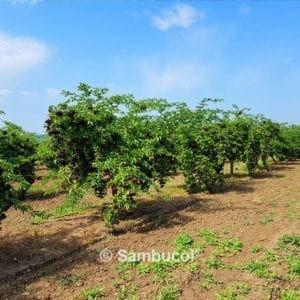 Sambucol-Orchard-Official-300x300.jpg