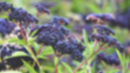 elderberry-plant-and-berries-1296x728.jp