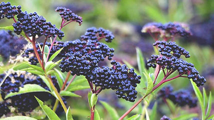 elderberry-plant-and-berries-1296x728.jp