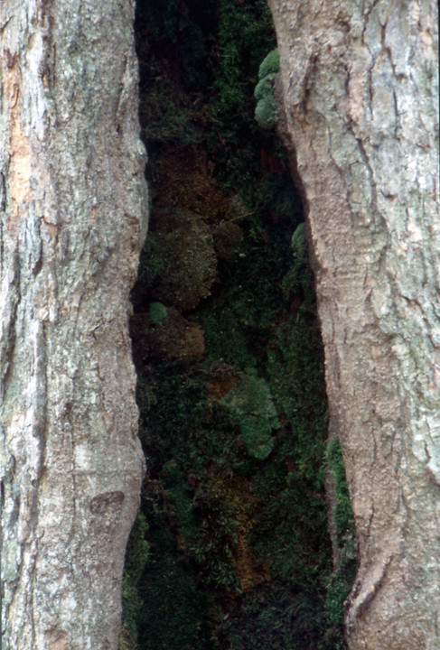 Christian Bernard Singer Hollow I (detail), 2002 Tree hollow packed with mosses Pine Hill Park, Alfred NY