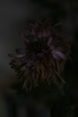 Withering Chrysanth