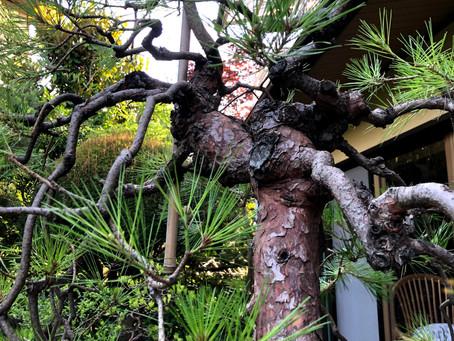 自然樹形と人工樹形。