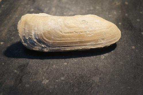 Pholadomya sp