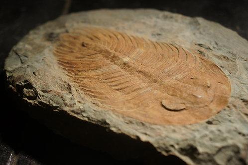 Gigantopygus Papillatus