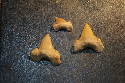 Paleocarcharodon Orientalis (Lot de 3)