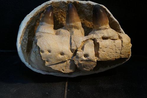 Mosasaurus Mâchoire