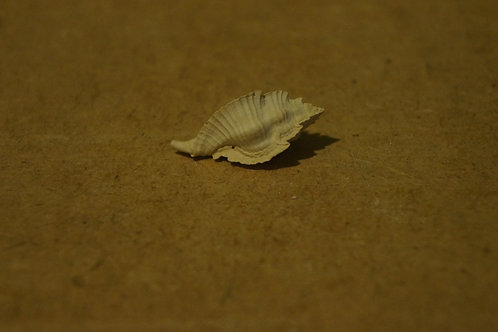 Timbellus Micropterus