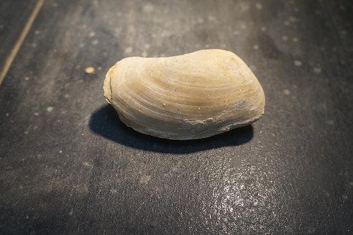 Pleuromya uniformis