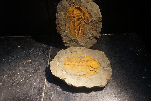 Acadoparadoxydes Levisetti