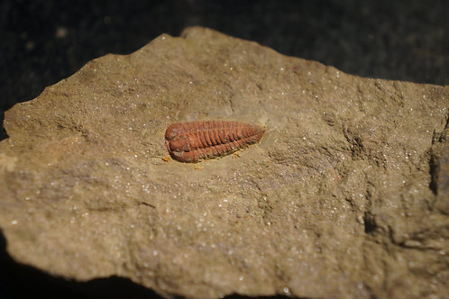Colpocoryphe Sp