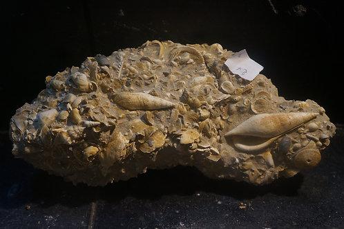 Semiterebellum marceauxi