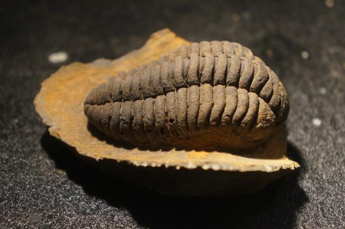 Trilobites de l'ordovicien du Maroc