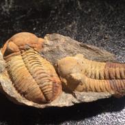 Phacopidina Micheli