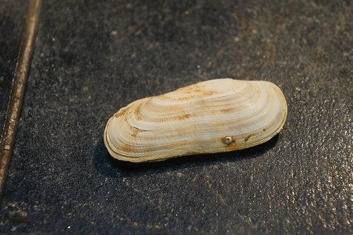 Solenocurtus Basteroti
