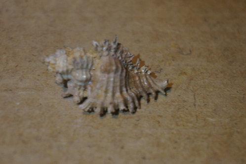 Chicoreus Foliosus