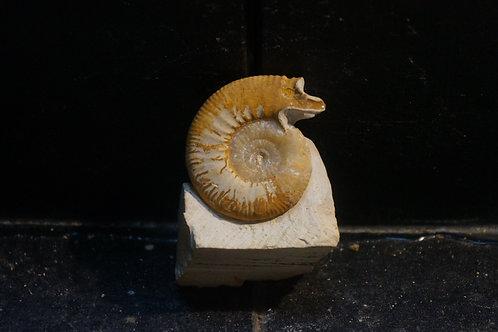 Perisphinctidae (Microconque de Choffatia)