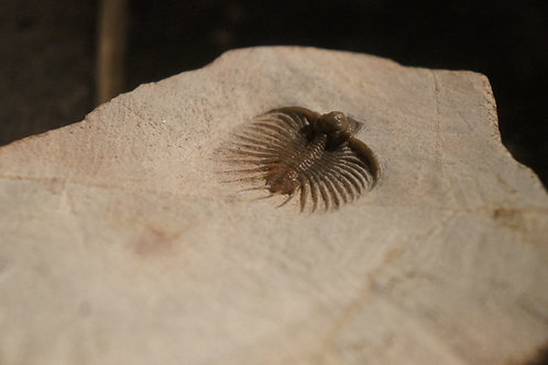 Acanthopyge sp