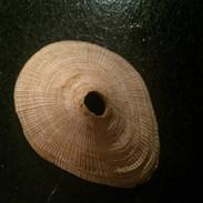 Fissurella magnifica