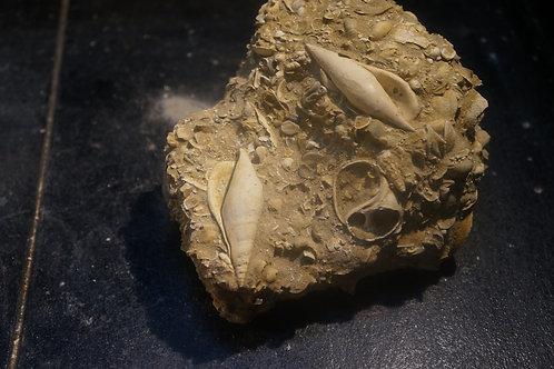 Semiterrebellum Marceauxi