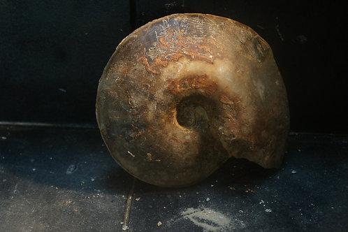 Ammonite sp.