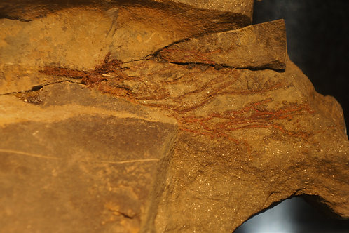 Crinoide sp