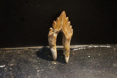 Basilosaurus Sp