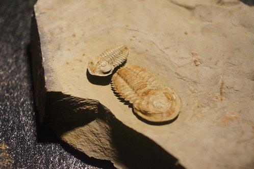 Daguinaspis ambrogii