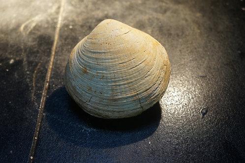 Pectunculus saucatsensis