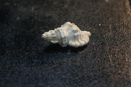 Eutritonium Aquitanicum