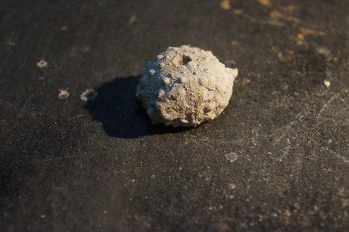 Hemicidaris purbeckensis