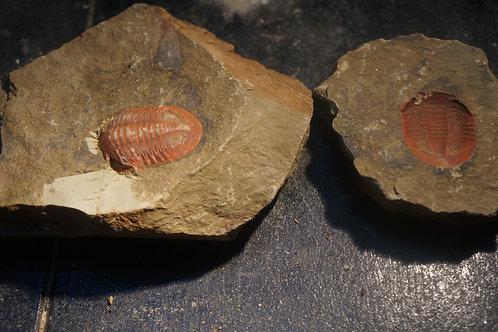 Asaphellus fezouatensis