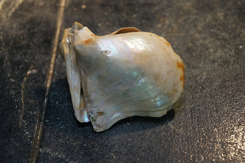 Meleagrina Phalaenacea