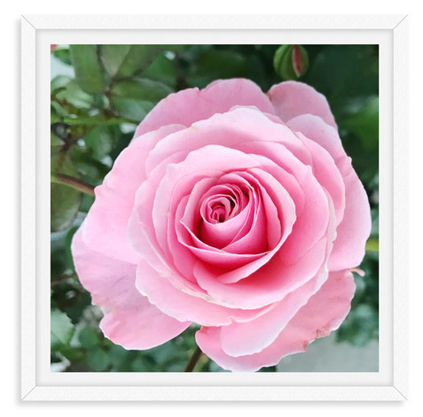 pink rose garden still life wall art lea