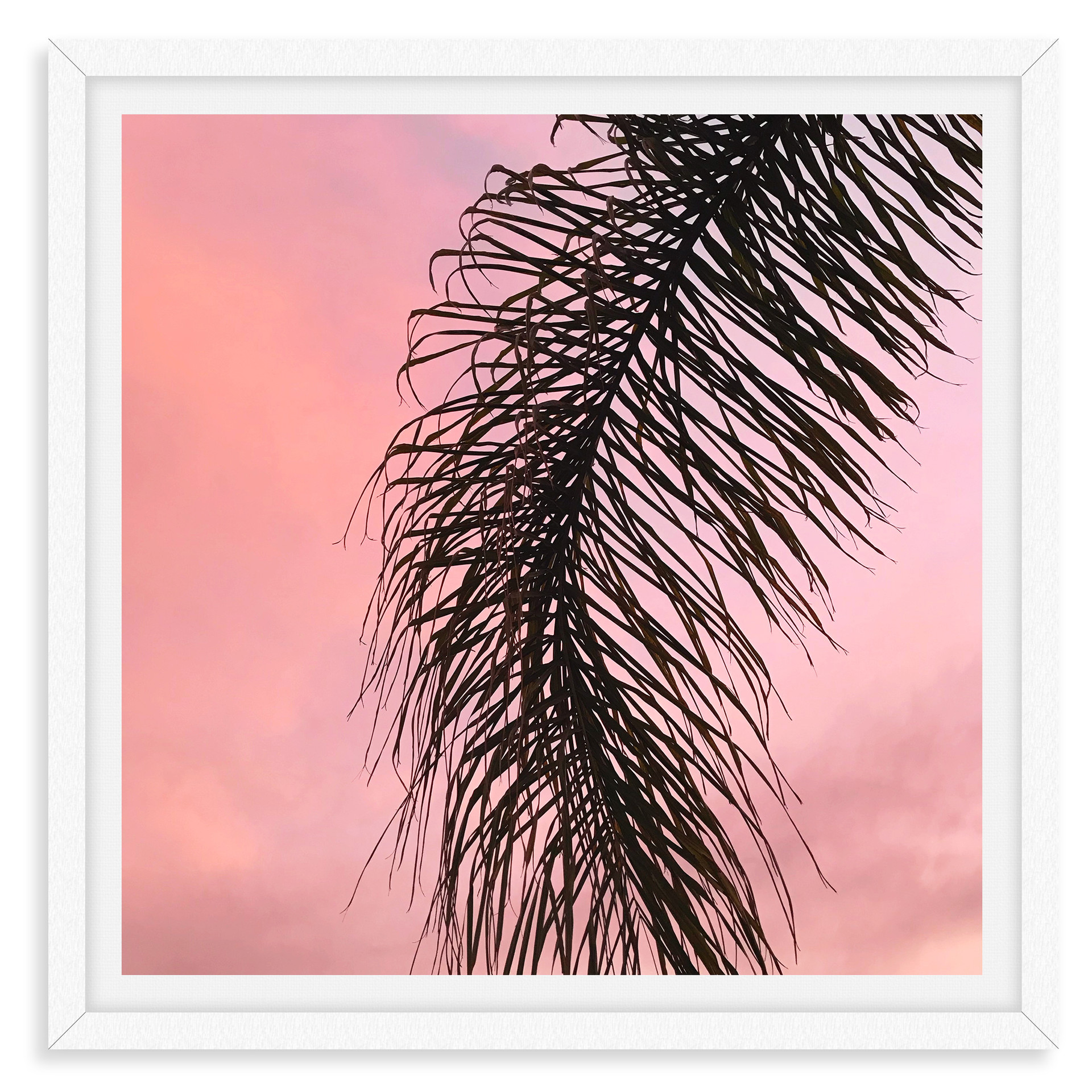 pink california sunset palm tree frond w