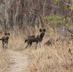 Wild Dogs Niassa.JPG