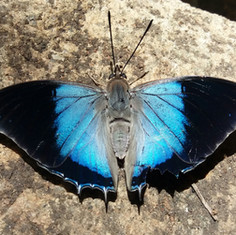 Large blue charaxes.jpg