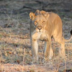 Inquisitive lioness