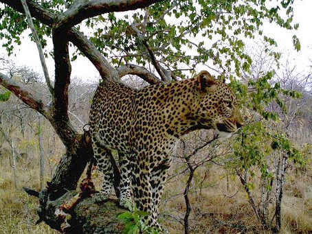 Leopard and Sable Hunt with David Langerman